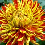 Chrysantemum Flower