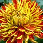 Chrysantemum Flower