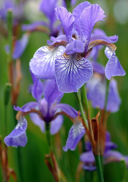 iris flower tattoos, Beautiful flower