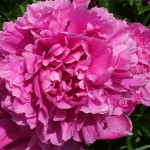 Peonies Flower